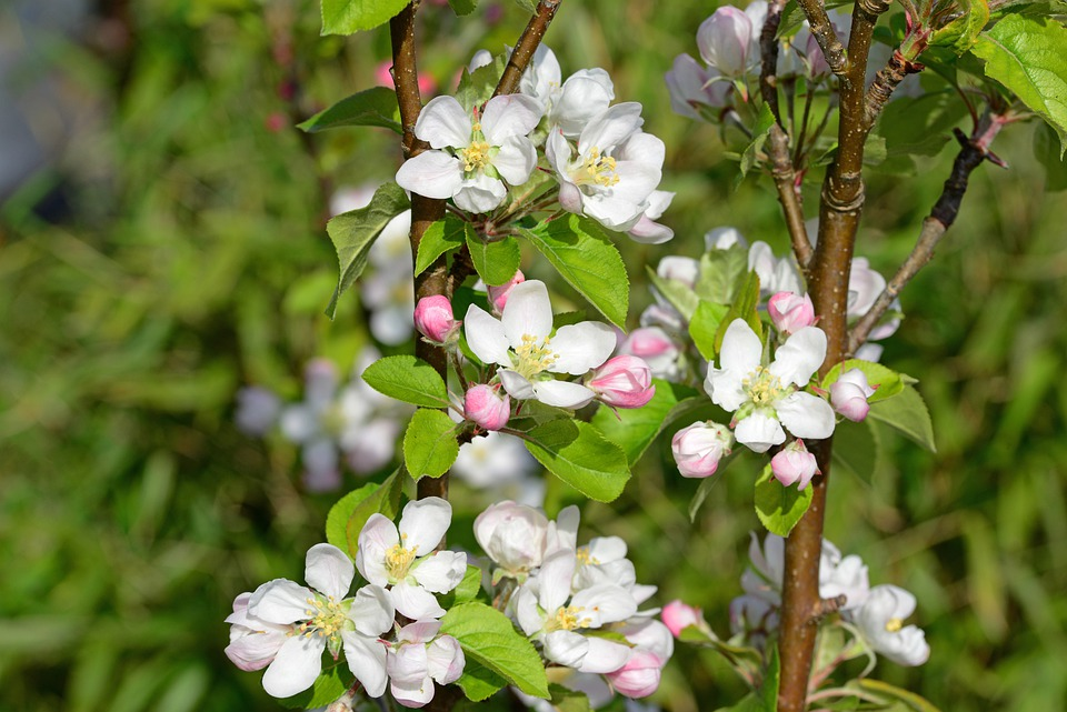 Apple Blossom, Flowers, White And Pink, Blooms, Veins