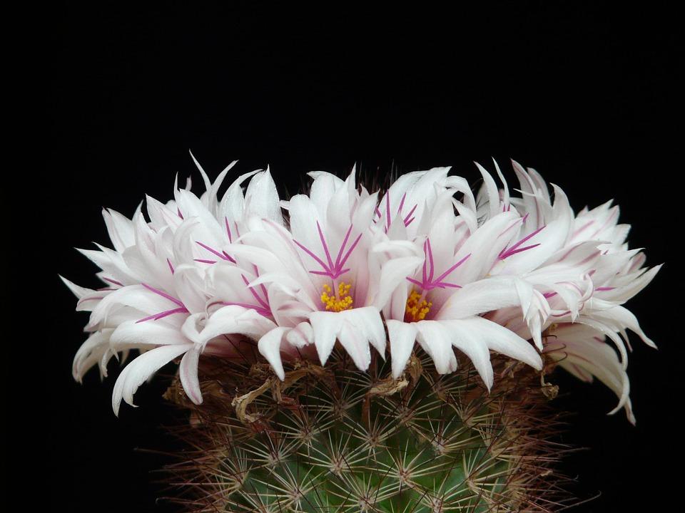 Free photo flowers white bloom mammillaria albicans cactus max pixel cactus white flowers bloom mammillaria albicans mightylinksfo