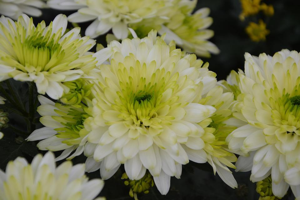 Flowers White Chrysanthemums, Nature, Toussaint, Offer