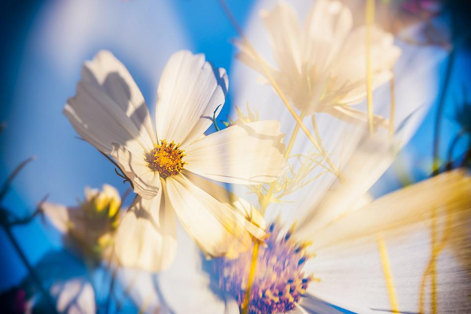 Cosmea, Flowers, Double Exposure, Bloom, White, Cosmos