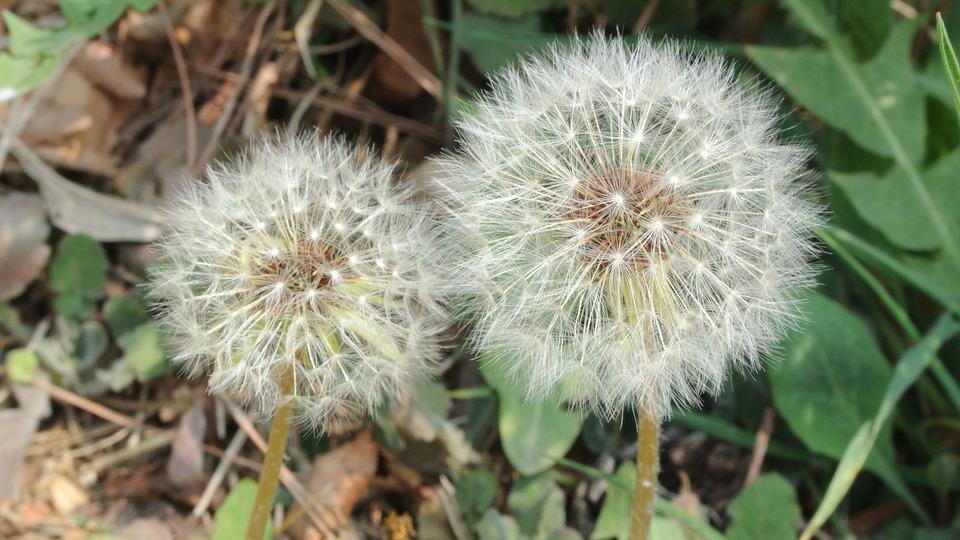 Dandelion, Dandelion Mr Hall, Flowers, White