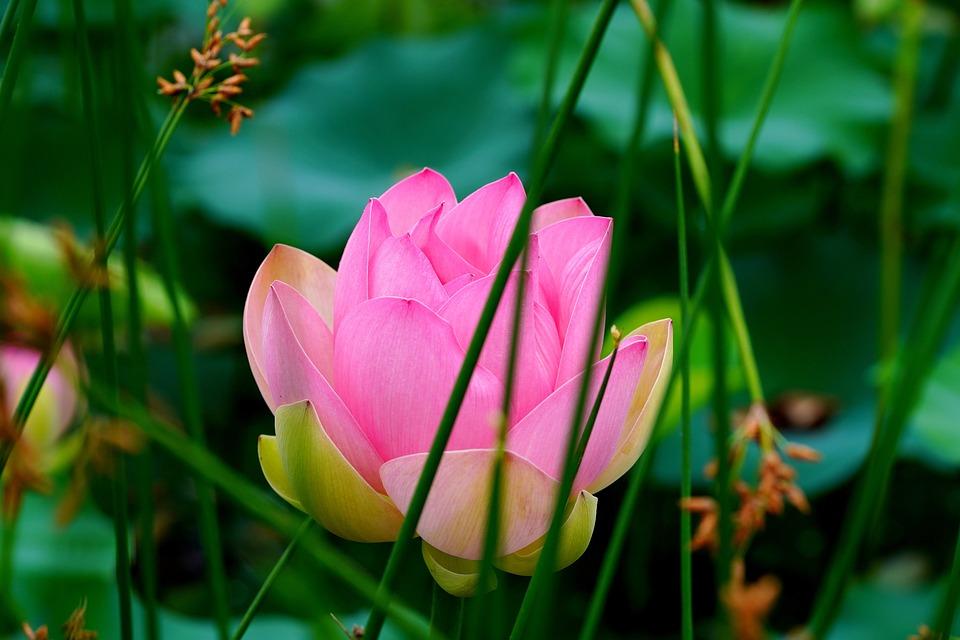 White Flower, Lotus Flower, Lotus, Pond, Flowers