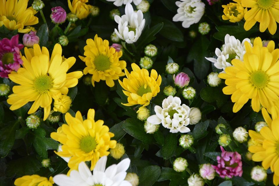Free photo flowers white flowers fall yellow parterre massif max pixel flowers yellow white parterre massif flowers fall mightylinksfo