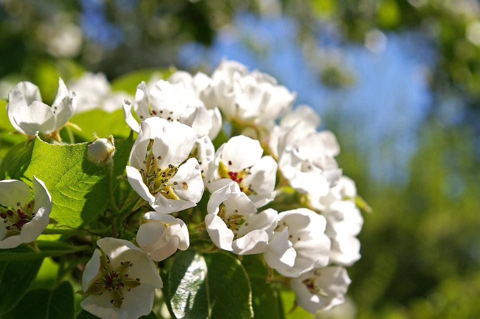 Free photo flowers white flowers petals spring pear tree tree max spring petals tree flowers pear tree white flowers mightylinksfo