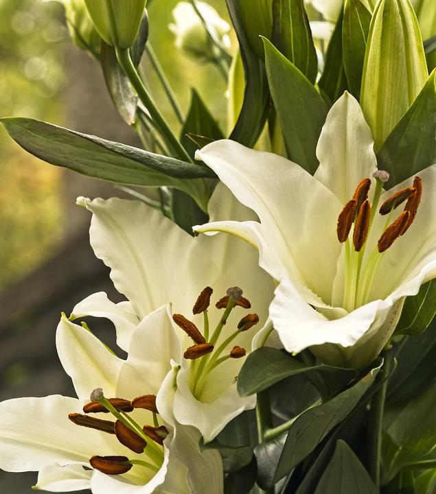 Flowers, Lilies, Oriental Lily, Asiatic Lily, White