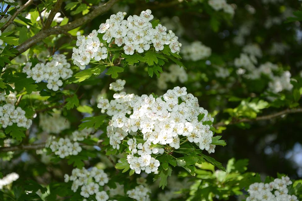 Flowers, White, The Hawthorns, Shrub, Green, Thorny