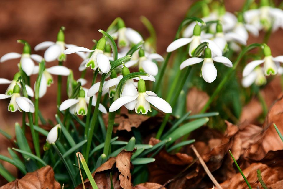 Free photo flowers white snowdrop small spring flowers spring max snowdrop flowers white small spring spring flowers mightylinksfo