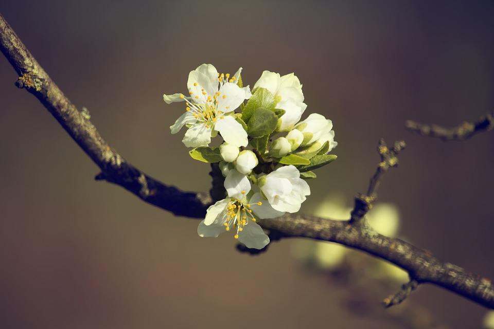 Spring, Flowers, White, Nature, Plant, Cherry, Tree