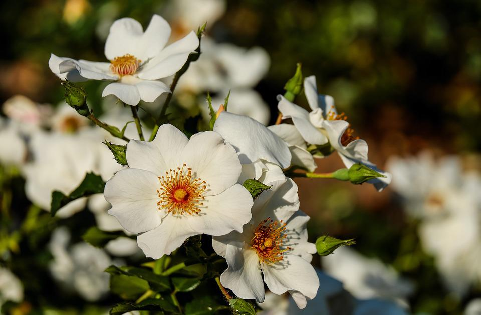Rose, Wild Rose, Flower, Blossom, Bloom, Flowers, White