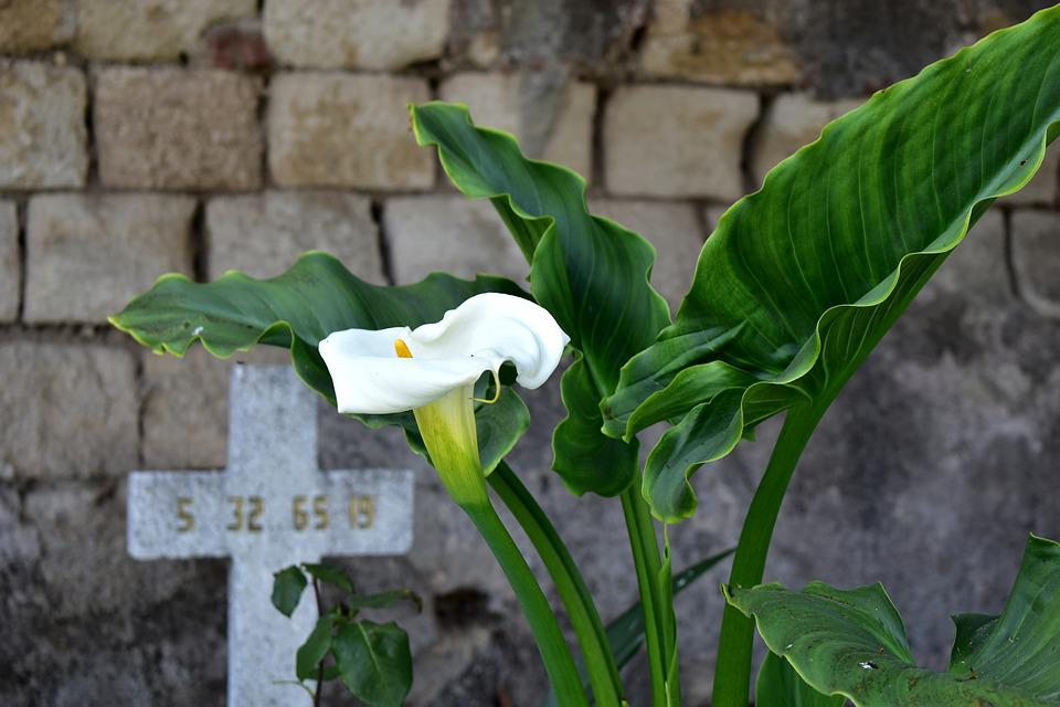 Alcatraz, Flower, Plant, Cruz, Flowers, Whiteness