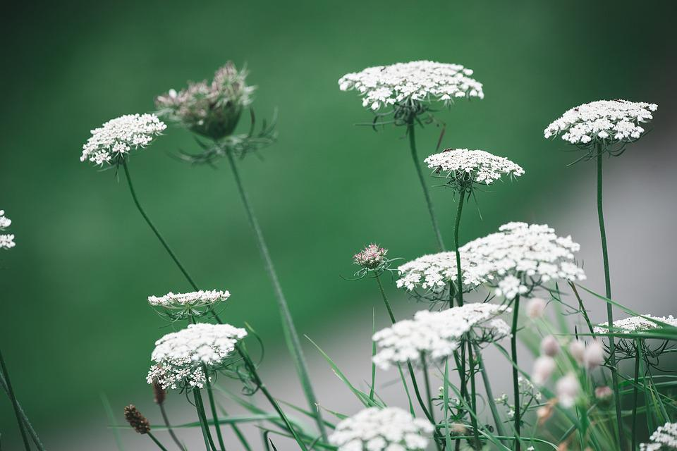 Wild Carrot, Flowers, White Flowers, Pointed Flower