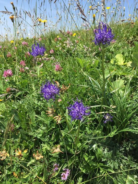 Blue Phyteuma, Flowers, Blue, Wild Flower