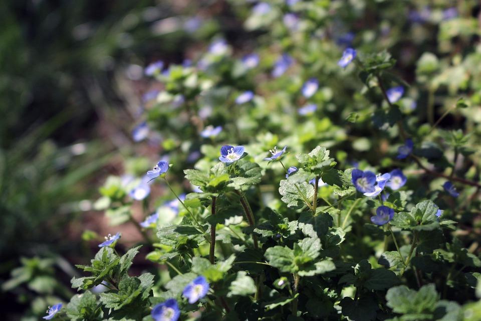 Grass, Flowers, Wild Flowers, Little, Blue
