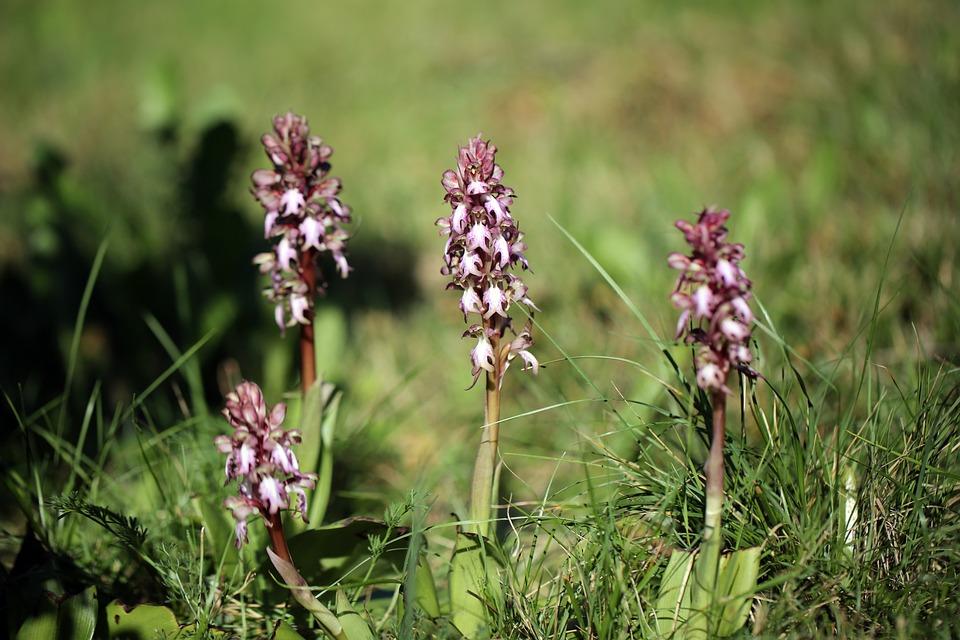 Wild Orhids, Flowers, Nature, Wild Flowers, Flowering