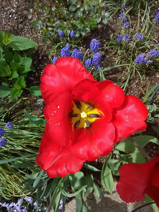 Spring Flowers, Wild Red Hibiscus, Flowers