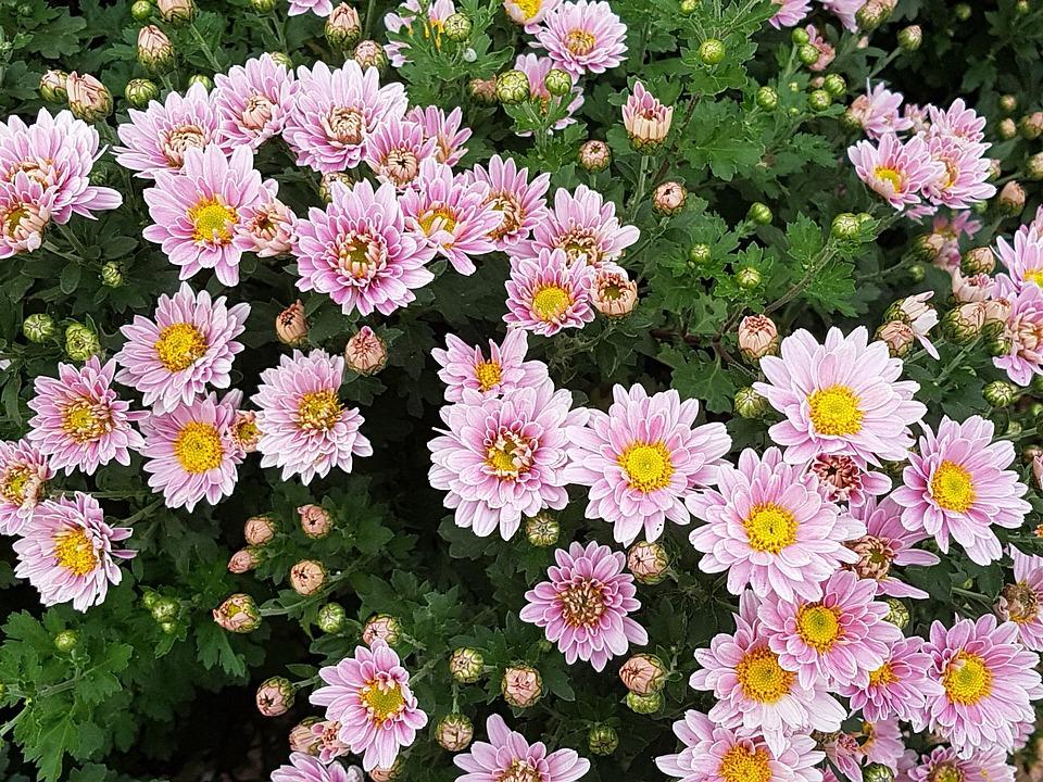 Autumn, Chrysanthemum, Flowers, Wildflower, Asteraceae