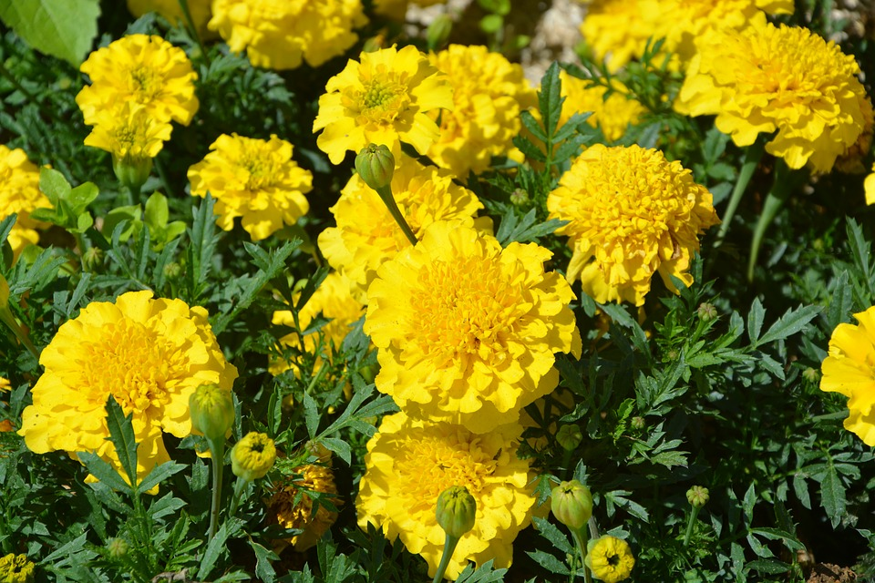 Free photo flowers yellow carnations of india summer nature max pixel carnations of india yellow flowers nature summer mightylinksfo