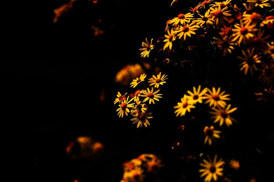Daisy, Yellow, Earth, Flowers, Flower, Plant, Garden