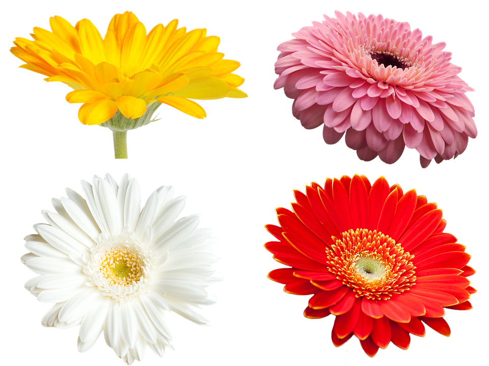 Flowers, Gerbera, Transmission, Yellow Flowers