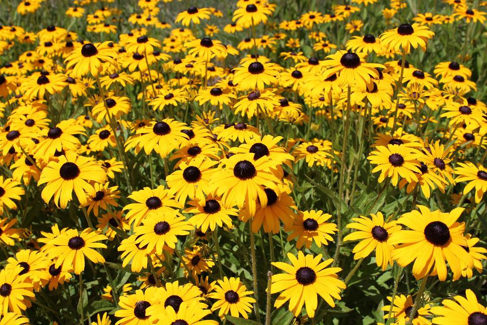 Black Eyed Susan, Flowers, Yellow Flowers, Rudbeckia