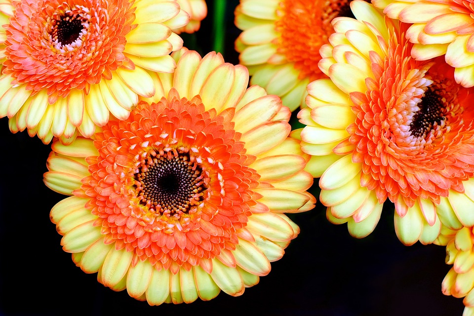 Gerbera, Flowers, Yellow, Orange, Bloom, Spring