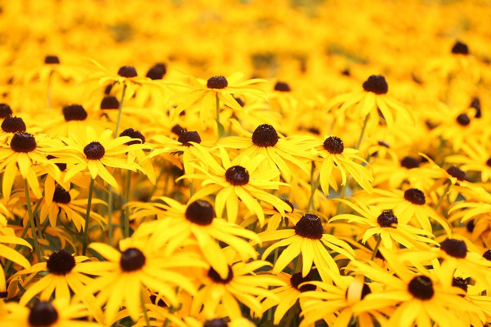Yellow, Margarets, Flowers, Nature, Summer, Garden