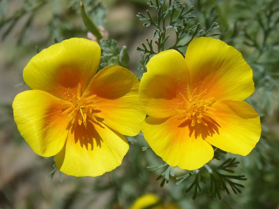 Free photo flowers yellow poppy beauty california poppy couple max california poppy flowers couple beauty yellow poppy mightylinksfo