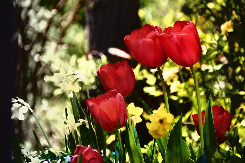 Flowers, Tulips, Spring, Plant, Flower, Red, Yellow