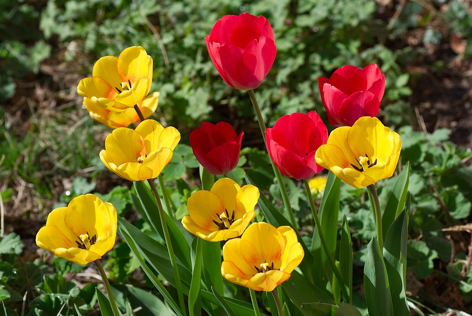 Tulips, Flowers, Transparent, Red, Yellow