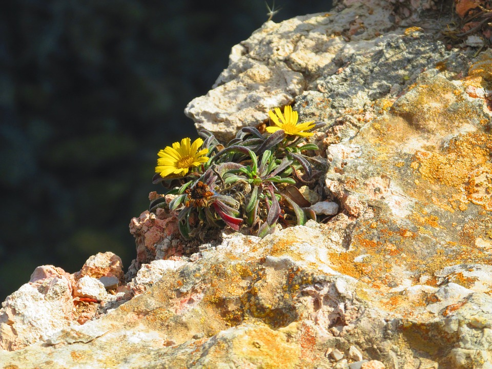 Flowers, Rock Slope, Yellow