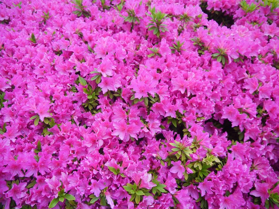 Flowers, May, Satsuki, Flowering, Heisei-cho, Yokosuka
