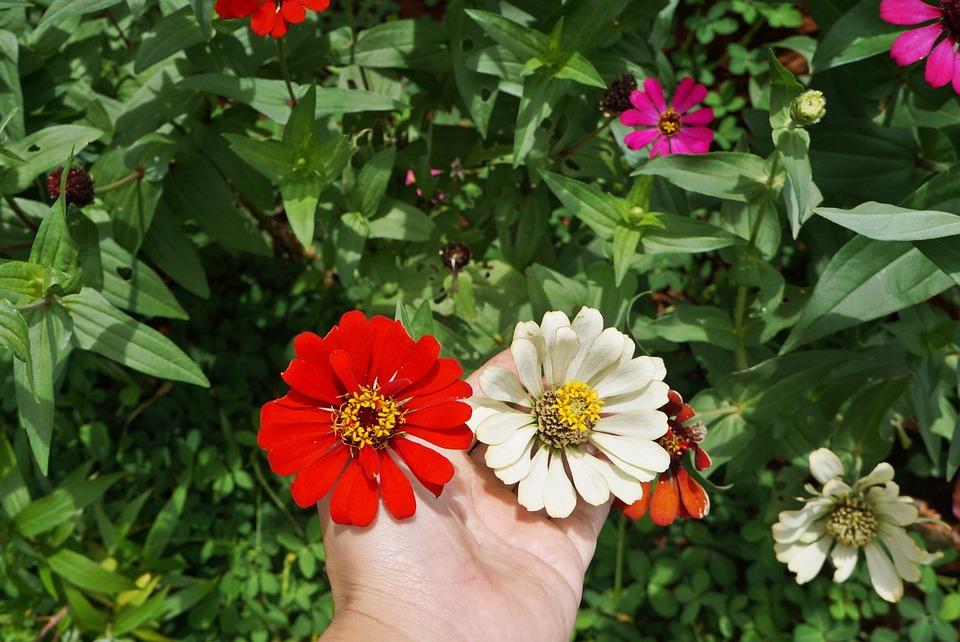 Zinnia Flower, Red Flower, Flowers