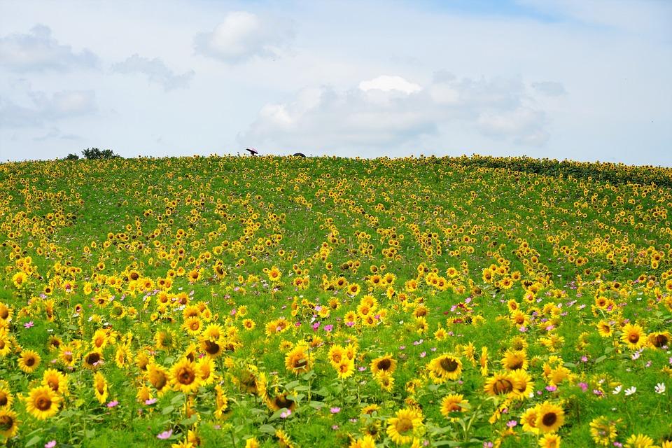 Sunflower, Summer, Flowr, Nature, Wild, Flowers, Yellow
