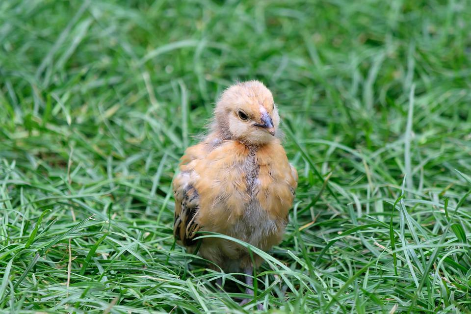 Chicks, Young Animal, Cute, Fluff, Small, Young Bird
