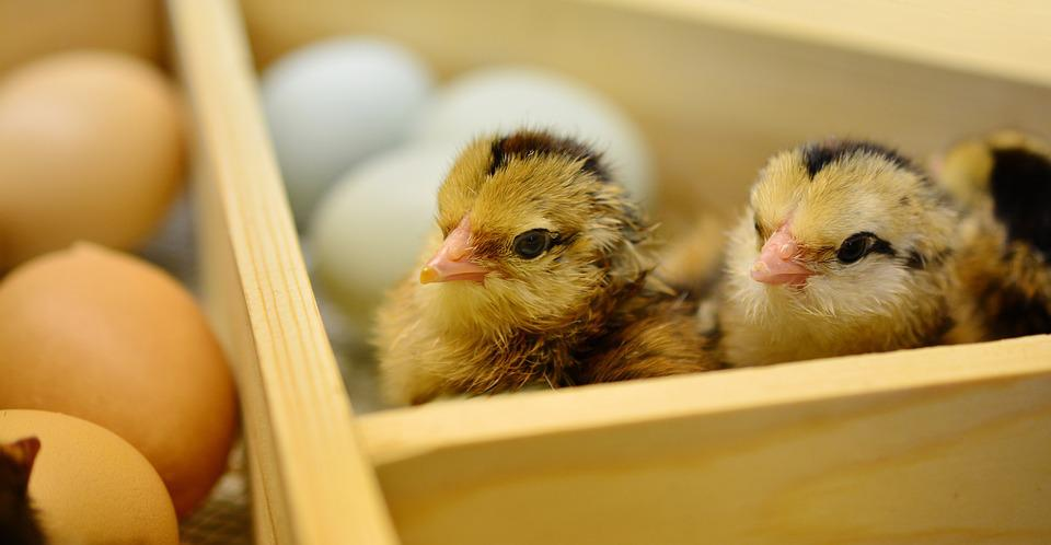 Chicks, Hatched, Young Animal, Fluff, Fluffy, Eggshell