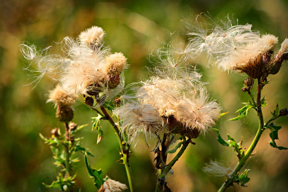 Thistle, Flower, Plant, Fluff, Seed, Wind, Blowing
