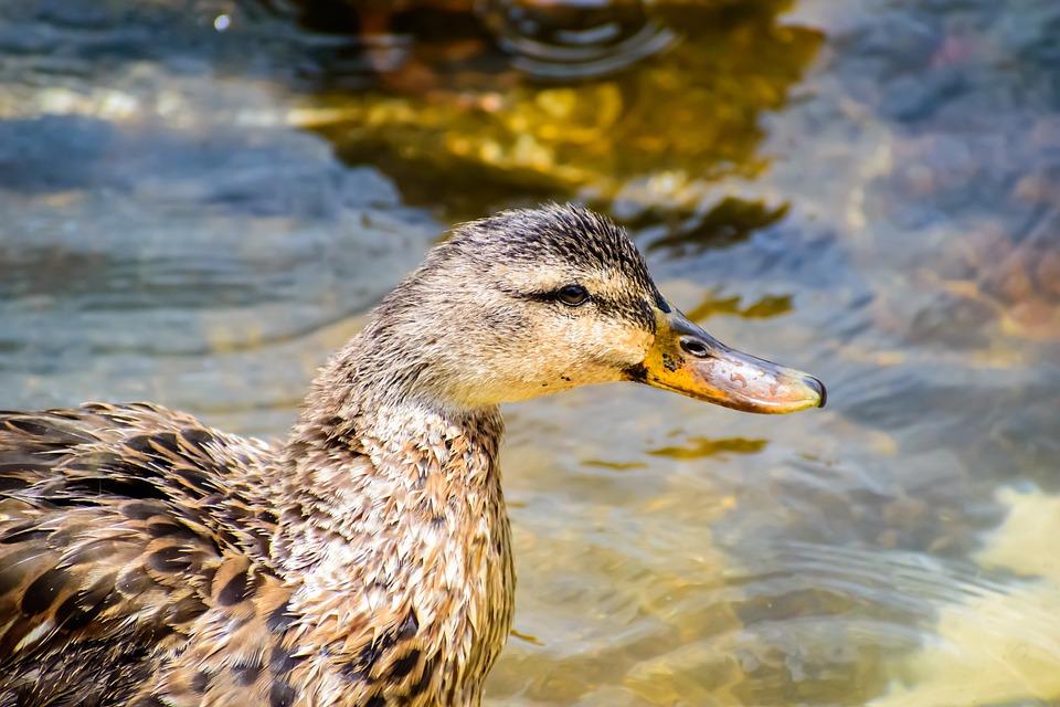 Duck, Water, Bird, Nature, River, Cute, Lake, Fluffy