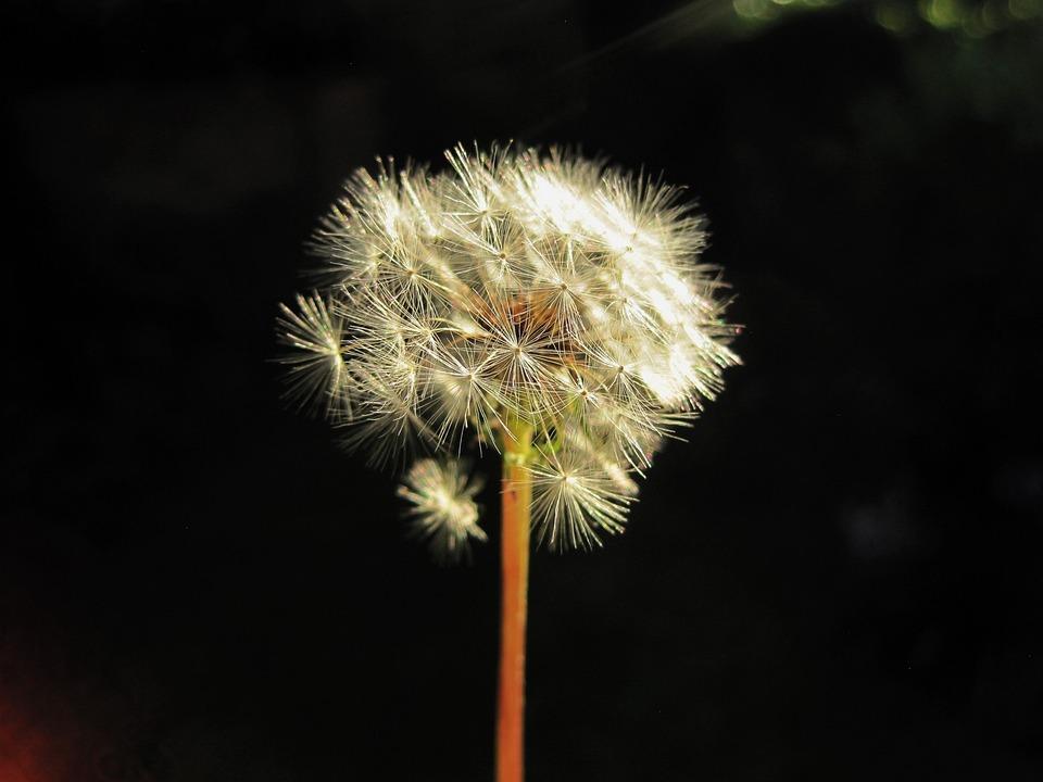 Flower, Seedhead, Dandelion, White, Fluffy, Delicate