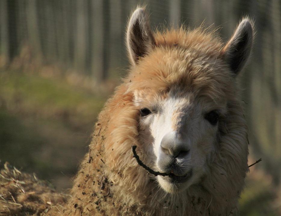 Animal, Alpaca, Fur, Furry, Head, Nature, Hair, Fluffy