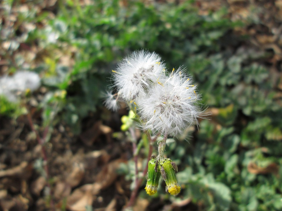 Flower, Wildflower, Weeds, Fluffy, Macro, Floral, Plant