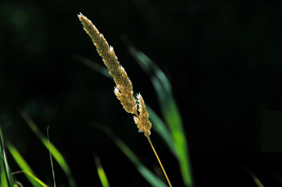 Plume, Sun, Reed, Nature, Plant, Wild, Weeds, Fluffy