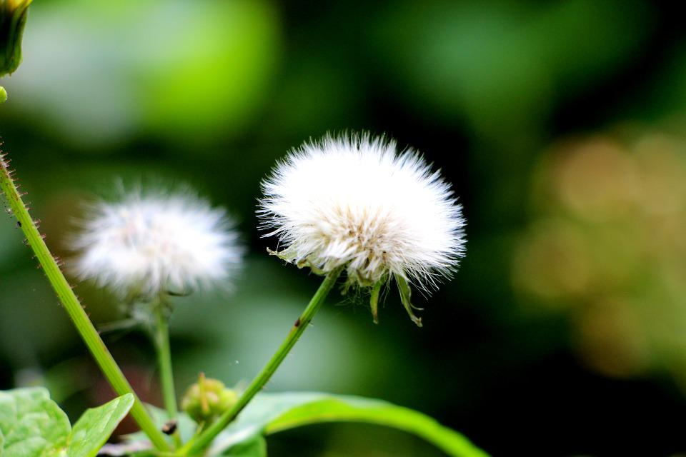 Wind Flower, Green, Flowers, Dandelion, Fluffy, Dry