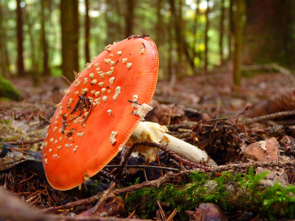 Fly Agaric, Pil, Red, White, Points, Forest, Autumn