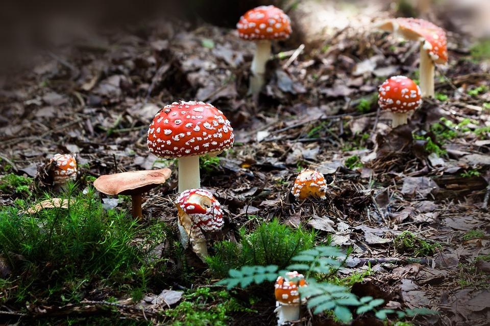 Fly Agaric, Mushrooms, Moss, Toadstools, Fly Amanita