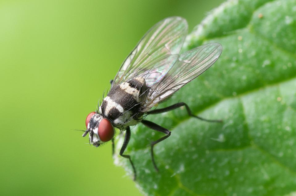 Fly, Insect, Leaf, Wings, Compound Eyes, Animal