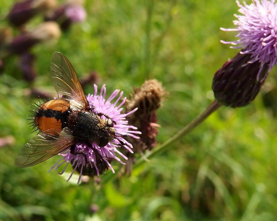 Fly, Thistle, Autumn Grazing