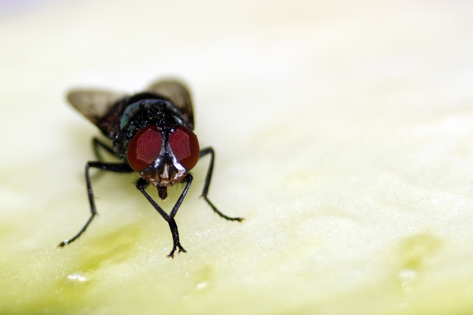Fly, Beronha, Insect, Macrophotography