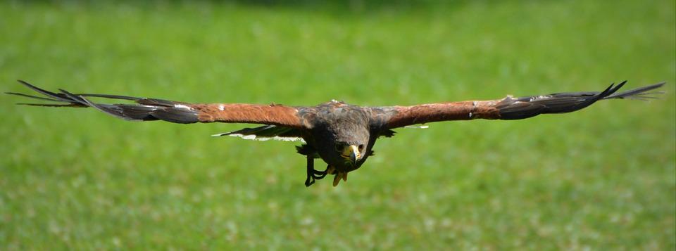 Eagle, Bird, Bird Of Prey, Fly, Span, Wings