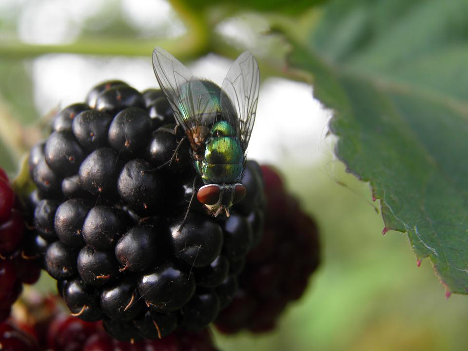 Blackberry, Fly, Black, Bluebottle