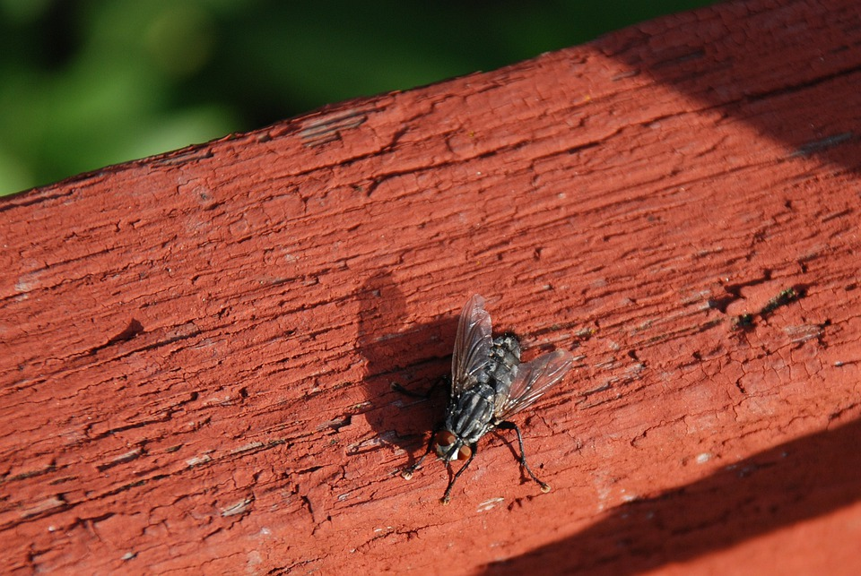 Housefly, Fly, Insect, Bug, Flight, Nature, Animal